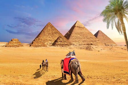 Elephants and camels behind the palm in the desert near the Pyramids of Giza, Egypt