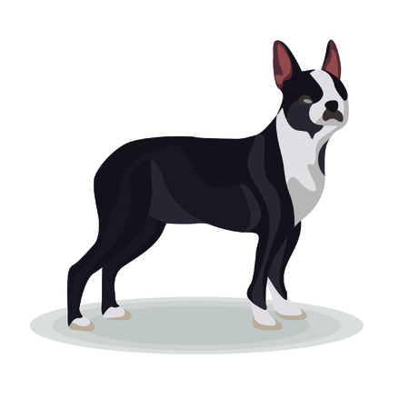 Illustration - Boston Terrier on White Background Vector