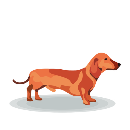 short haired: Illustration - Dachshund on White Background