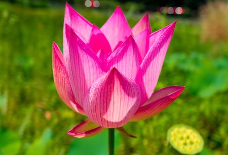 ピンクの蓮の花 写真素材