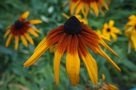 coneflower: Coneflower (rudbeckia) yellow and dark-red old flower close up Stock Photo