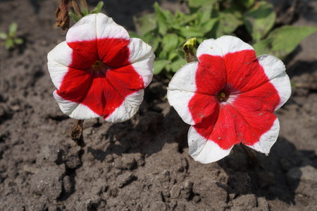 edges: Dreams Red Picotee Petunia red with bright white edges two flowers on a sunny day.