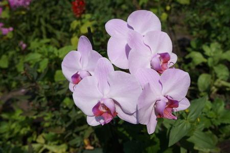 phal: Orchidee phalaenopsis Mosella pale violet five flowers.