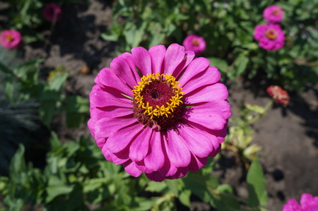 flower close up: Elegant zinnia pink with yellow center flower close up.