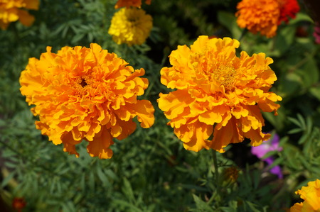 Two African Marigold bears bold orange flowers.