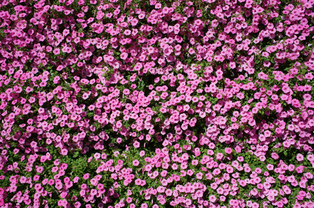 petunia: Petunia pink small flowers cover. Stock Photo