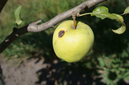 wormhole: Green apple Semerenko with a brown spot wormhole on a tree branch. Stock Photo