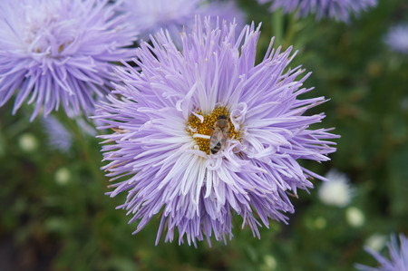 aster: Aster callistephus needle pale-violet flower with bee.