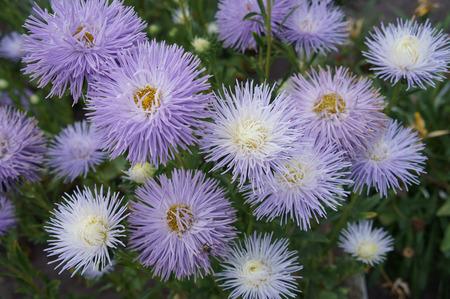 aster: Aster callistephus needle white-violet flowers.
