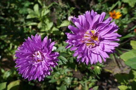 aster: Two aster callistephus purple flower on sunny day.