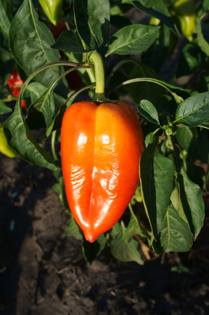 Orange Bell Pepper on the vine. Stock Photo