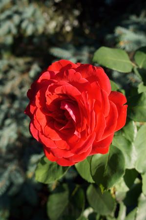 rosa: One Hybrid Tea red rose flower.
