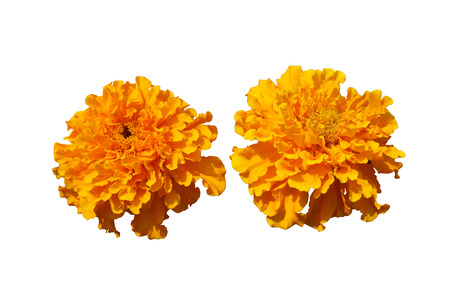 chartreuse: Two African Marigold bears bold orange flowers isolated on white.