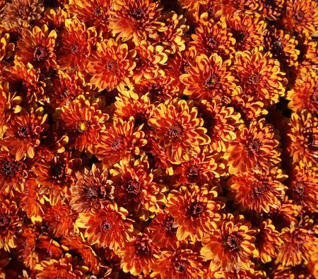 aster: Orange aster callistephus flowers.