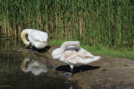 Two mute swans cleaning feathers a background of green reed. Stock Photo - 79110306