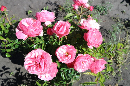 Pink undersized  patio rose flowers on a sunny day. Фото со стока