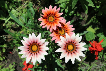 trailing: Pink with red and orange stripes gazania flowers on a sunny day.