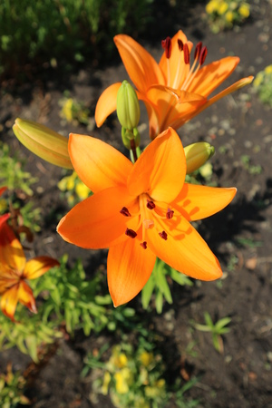Asiatic hybrid lily Apeldoorn two orange flowers and buds