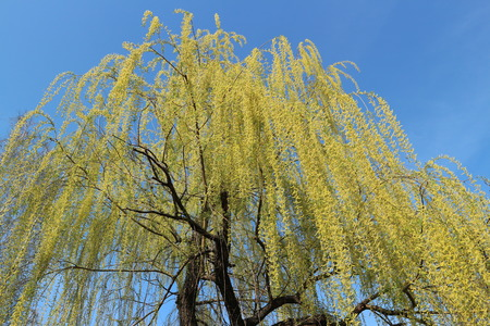 Weeping willow tree in spring on a blue sky backgroud.
