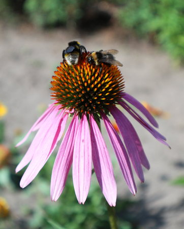 Echinacea purpurea (Eastern purple coneflower) flower with two bumblebees.