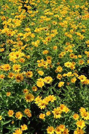 Heliopsis helianthoides var. scabra 'Loddon의 빛'밝은 노란색 꽃 초원 스톡 콘텐츠