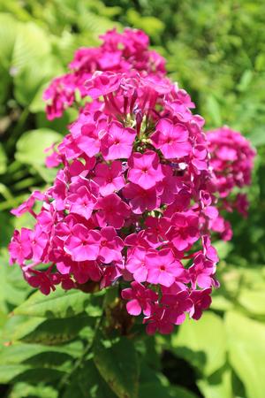 フロックス ピンク植物花