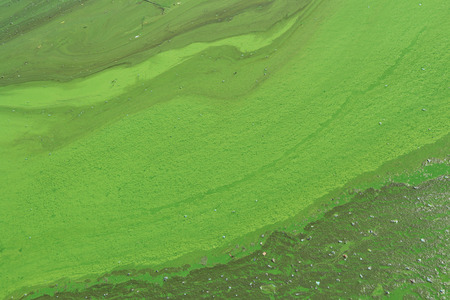 Algae polluted river water on the river.