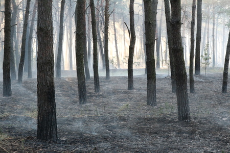 Pine forest after a grassroots fire. Stock Photo