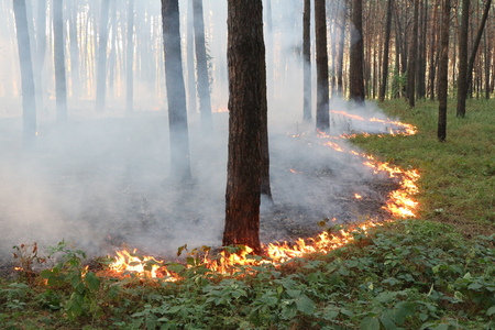 Grassroots fire in a pine forest. Stock Photo