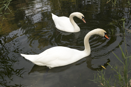 Two white mute swan swims in the lake water Stock Photo - 88002240