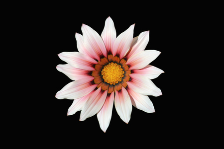 One pink with red and orange stripes gazania flower isolated on black. Stock Photo