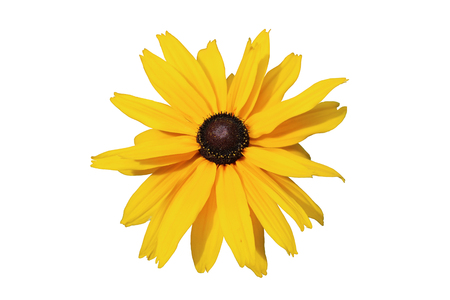 Rudbeckia Gloriosa Double Gold large yellow flower with brown center isolated on white. Stok Fotoğraf