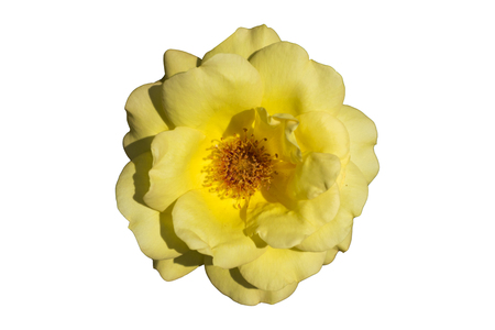 A blooming yellow rose isolated on white background Stock Photo