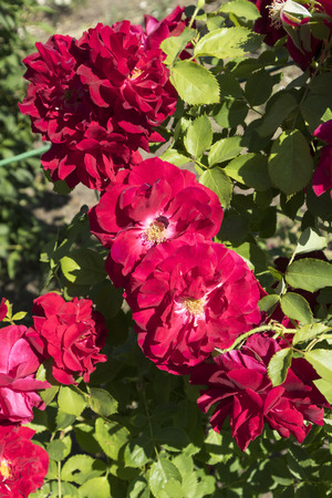 Rosa gallica maxima rosebush with red flowers. Stock Photo