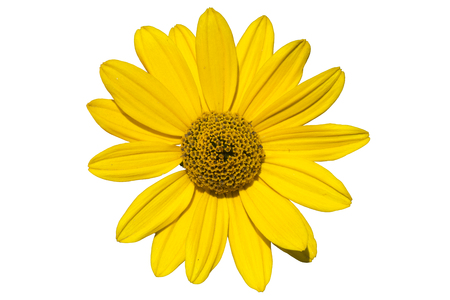 Heliopsis scabra Light of Loddon yellow flower isolated on white.