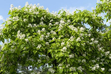 Catalpa speciosa white flowers and foliage.