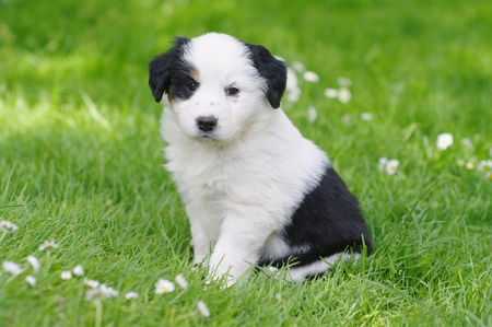 cute puppies in the meadow Stock Photo