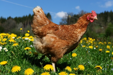 Hen outside in the meadow at spring