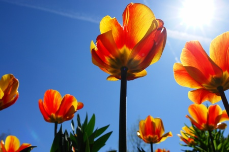 Bright red tulips with blue sky back ground  photo