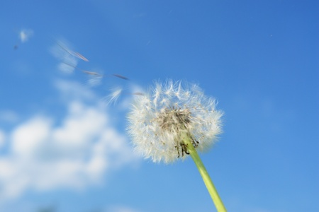 blowball: blowball dandelion clock at springtime in the wind