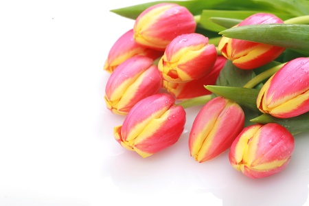 Tulips isolated on a white and background photo