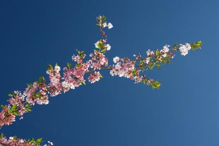 zbliżenie z różowego drzewa kwiatów przed niebem