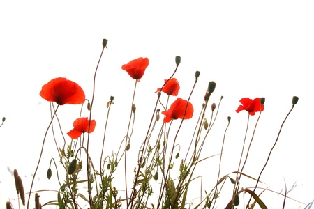 stalk flowers: red poppies isolated on a white background Stock Photo