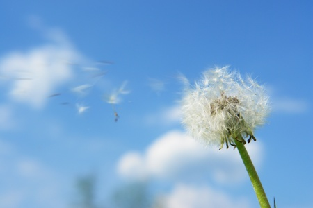 taraxacum: blowball dandelion clock at springtime in the wind