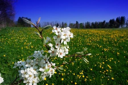 Apple kwiaty w czasie Wiosny na słoneczny dzień