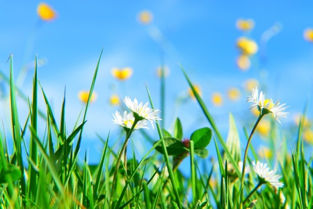 buttercup flower: beautiful spring flowers against a blue sky