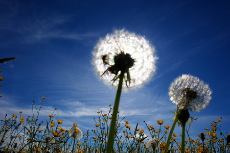 beautiful spring flowers blow balls against sky and sun photo