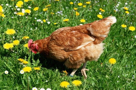 Hen outside in the meadow at spring Stock Photo - 8952621