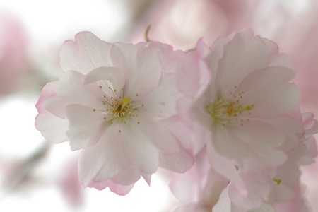 details of cherry blossom in the spring photo