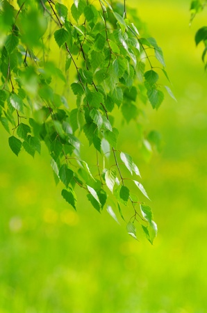 green leaves foliage at springtime outside in the nature Stock Photo - 8952625